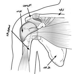 Shoulder-anatomy-Normal